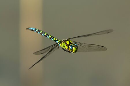A blue hawker dragonfly (Aeshna cyanea) in flight on a sunny day in summer (South Tyrol, Italy)