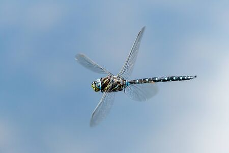 A common hawker dragonfly (Aeshna juncea) in flight on a sunny day in summer (South Tyrol, Italy)