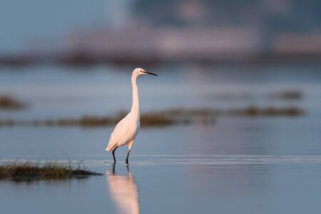 Little egret (Egretta garzetta) standing in the water during sunrise (Grado, Italy) 스톡 콘텐츠
