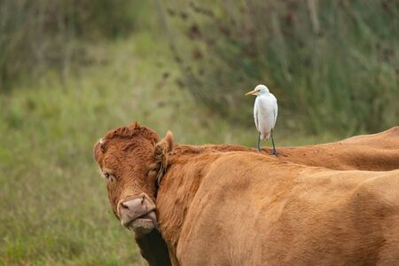 A Western Cattle Egret (Bubulcus ibis) standing on a brown cow (Grado, Italy)