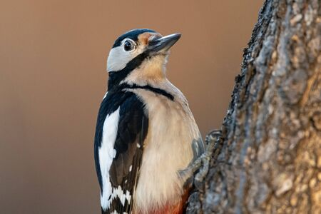A male great spotted woodpecker (Dendrocopos major) sitting on a tree trunk