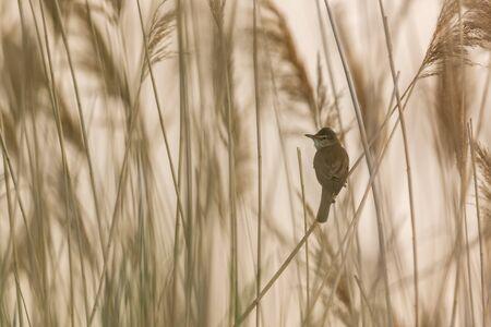 A great reed warbler (Acrocephalus arundinaceus) sitting on reed