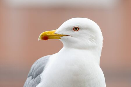 Portrait of a yellow legged gull on a cloudy day in winter (Venice, Italy) 免版税图像
