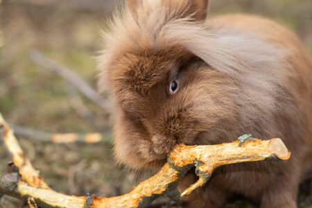 Closeup of a small brown rabbit nibbling on a twig