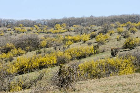 Rows of flowering cornelian cherry dogwoods (Cornus mas) on a sunny day in springtime