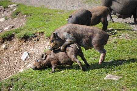 Two young pot-bellied pigs playing in the grass, sunny day in summer