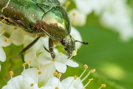 Portrait of a flower chafer (Cetonia aurata) covered with pollen feeding on white blossoms