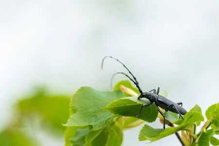 A capricorn beetle (Cerambyx scopolii, Cerambycidae) sitting on a lime tree (Vienna, Austria)
