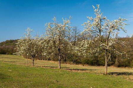 White flowering trees on a sunny day in spring, blue sky in Lainzer Tiergarten (Vienna, Austria)