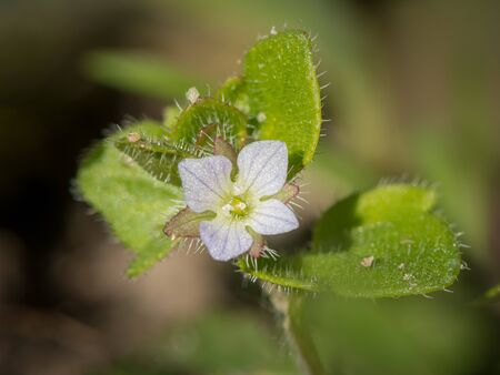 Closeup of the blossom of a green field speedwell (Veronica agrestis, Plantaginaceae)