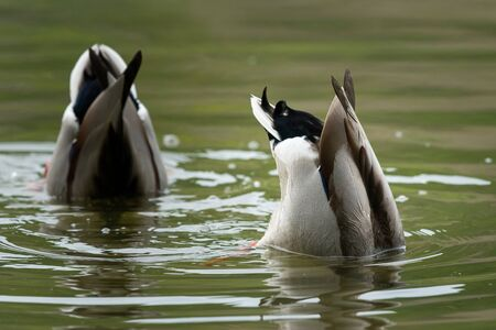 Closeup of two male mallards (Anas platyrhynchos) feeding on a river in springtime