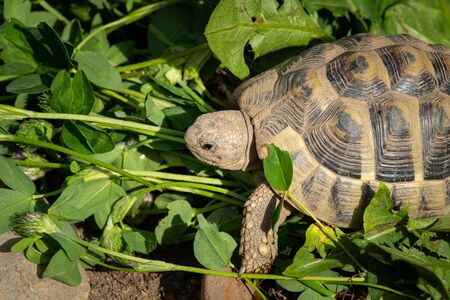 Portrait of a tortoise (Testudo hermanni boettgeri) on a sunny day in spring