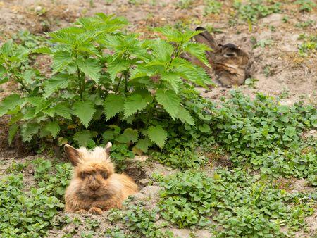 A brown cute dwarf rabbit (lions head) resting in the grass