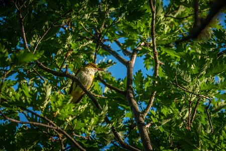 A Eurasian Golden Oriole sitting in a tree, sunny morning in spring