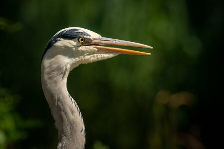 A portrait of a grey heron (Ardea cinerea) in direct sunlight in Austria