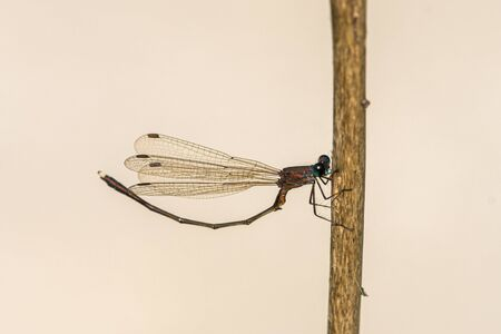 An eastern willow spreadwing (Chalcolestes parvidens) resting on a plant, Grado (Italy) Reklamní fotografie