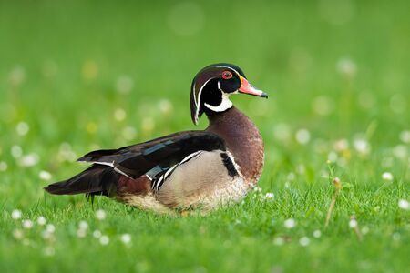 A Wood duck standing on a meadow in a park, sunny morning in springtime (Vienna, Austria)