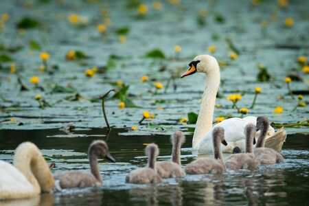 Mute swan cygnets (Cygnus olor) swimming on a sunny day in spring (Vienna, Austria) Reklamní fotografie