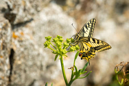 Swallowtail butterfly (Papilio machaon) feeding on a euphorbia plant on a sunny day in spring