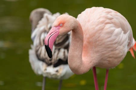 Portrait of a Greater Flamingo (Phoenicopterus roseus) in a zoo (Vienna, Austria), cloudy day in autumn