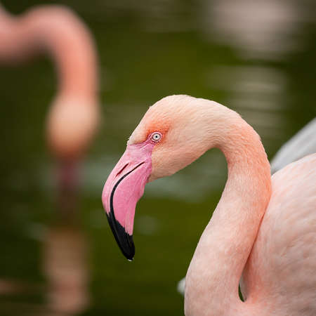 Portrait of a Greater Flamingo (Phoenicopterus roseus) in a zoo (Vienna, Austria), cloudy day in autumn Imagens