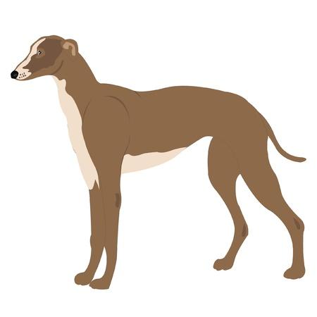 sort: Dog of the sort greyhound on white background