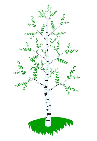 blanching: tree birch with green sheet