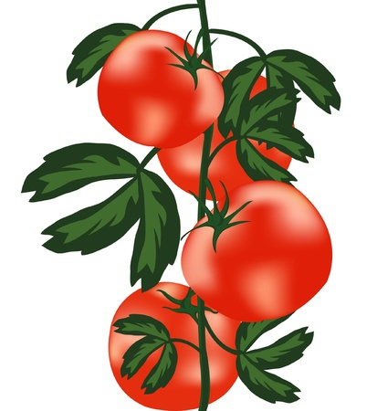 illustration ripe tomato on white