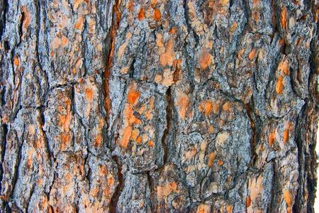cedar tree: Texture of the cortex tree cedar Stock Photo