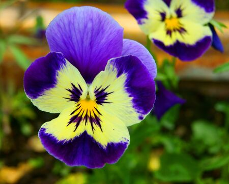 Decorative flower pansy