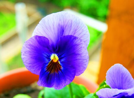 Very beautiful flower pansy
