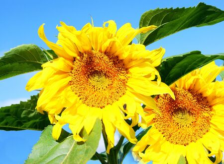 flowerses: Flowerses of the plant sunflower on background blue sky Stock Photo