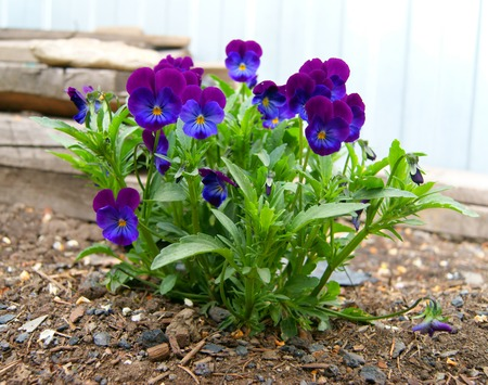 summer time: Tricolor pansy flower plant natural background, summer time Stock Photo