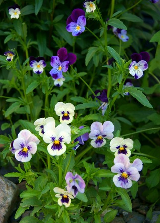Tricolor pansy flower plant natural background, summer time photo