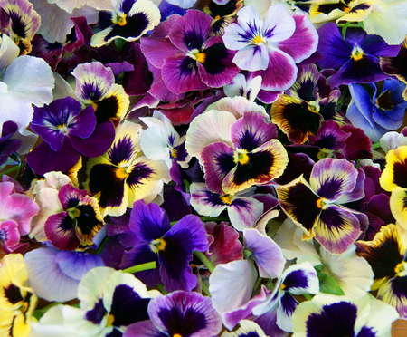 Colorful floral background from flower pansy.Flower Pansy photo