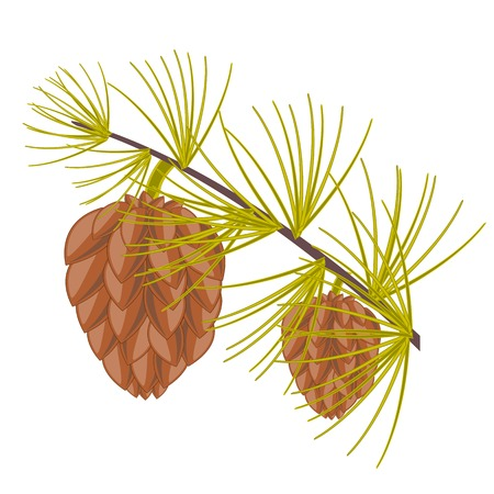 conifer: Branch of the conifer with big shot on white background