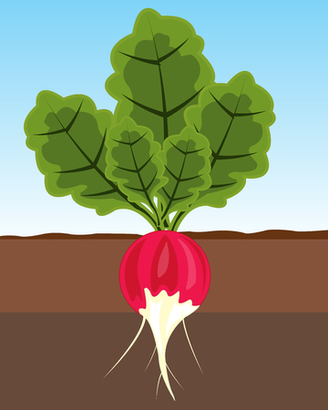 The Ripe vegetable radish in ground.Vector illustration