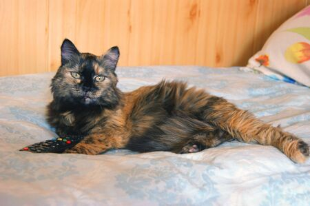 gentile: Beautiful feathery cat rests upon beds in room