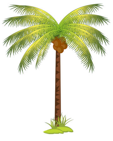 coco: The Tropical tree palm with fruit coco.