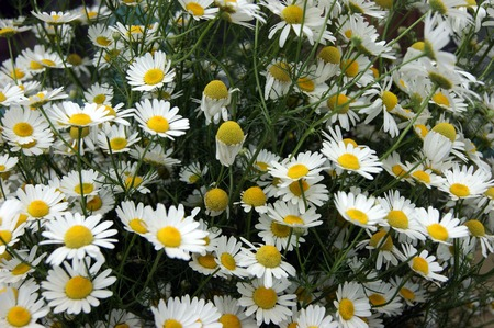 daisywheel: Year glade with white flower of the daisywheel
