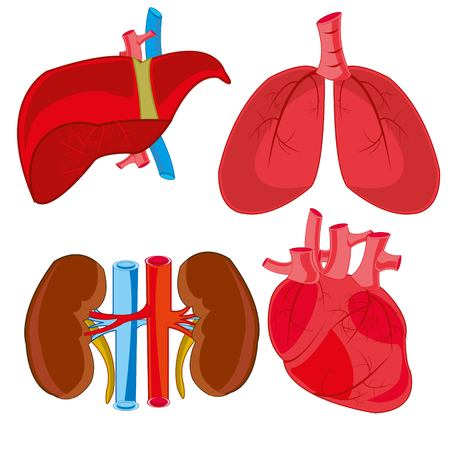 Internal organs of the person of the bud,liver,heart and light