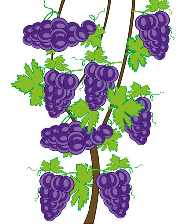 Grapevine on white background is insulated.Vector illustration