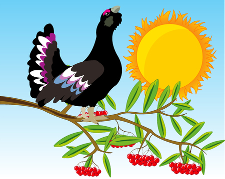 Vector illustration of the timber bird black grouse on branch of rowanberry