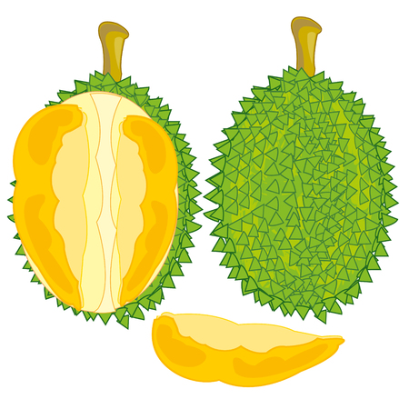 Vector illustration of the fruit durian and pulps in cut Stock Illustratie