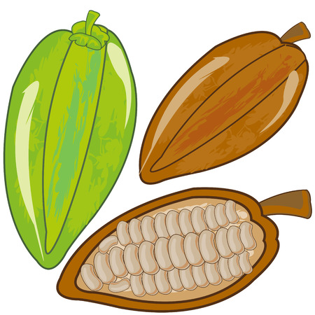 Fruits cacao ripe and green on white background is insulated 일러스트