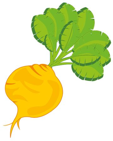 Agricultural plant turnip on white background is insulated