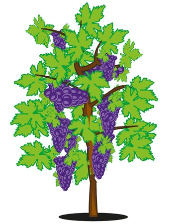 Vector illustration of ripe grape on bush
