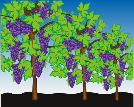 Vineyard bushes with harvest ripe berry grape