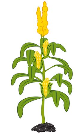 Bush with ripe corn on white background is insulated 일러스트