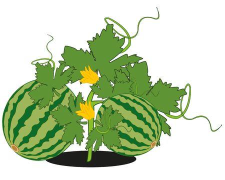 Vector illustration of the ripe watermelon in garden